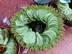 stack of Betel leaves, stimulant