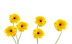 Stack yellow Gerber flowers, daisies isolated on white