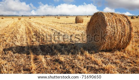 Stacks of collected wheat. The big yellow field after harvesting. Israel, spring