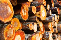 Stacks of freshly cut wood (woodpile, stacking of round wood). Timber industry. Alder timber and log yard. Red sapwood and light core