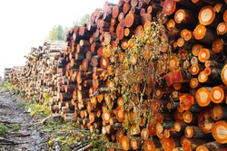 Stacks of logs of alder and birch (woodpile, stacking of round wood). Timber industry. Log yard. Autumn tree-felling