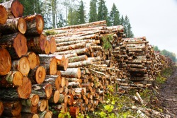 Stacks of logs of birch (woodpile, stacking of round wood). Timber industry. Log yard. Autumn tree-felling