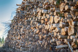 Stacks of logs of birch (woodpile, stacking of round wood). Timber industry. Log yard. Winter tree-felling for final cutting, hardwood