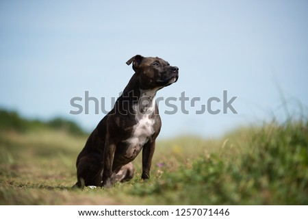 Staffordshire Bull Terrier Dog #1257071446
