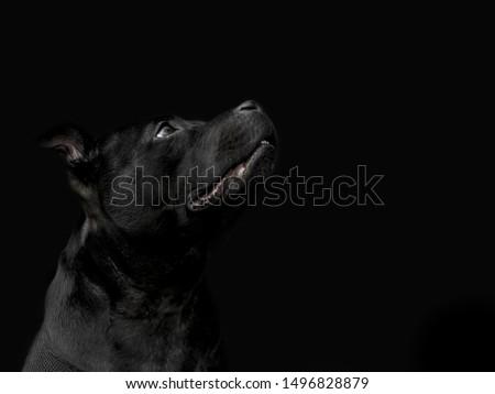 Staffordshire Bull Terrier Fine Art Portrait
