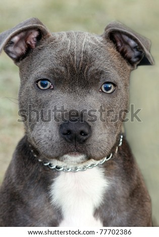 Staffordshire Bull Terrier pitbull puppy #77702386