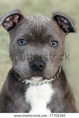 Staffordshire Bull Terrier pitbull puppy #77702386