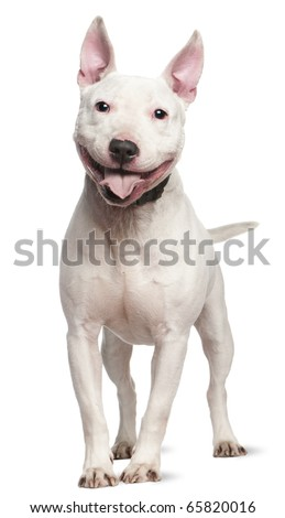 Staffordshire Bull Terrier, 4  years old, standing in front of white background