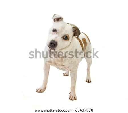 Staffordshire bullterrier dog on white background #65437978