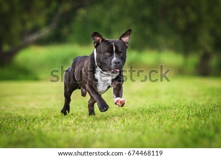 Staffordshire bullterrier dog running #674468119