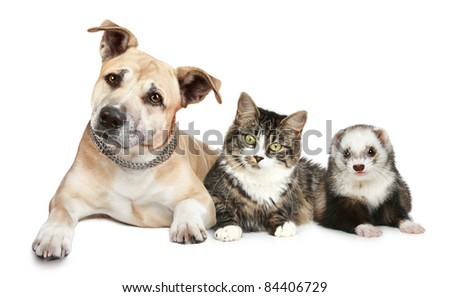 Staffordshire terrier cat and ferret trio on a white background