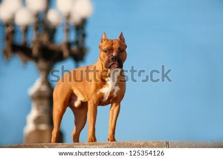 staffordshire terrier dog portrait