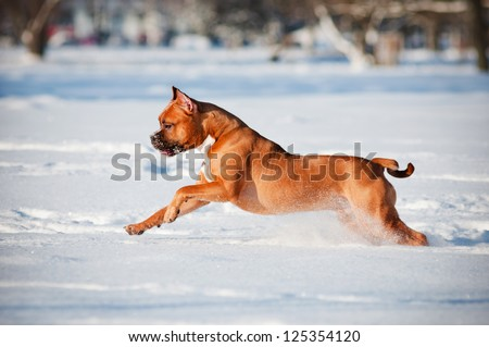 staffordshire terrier dog running in the snow