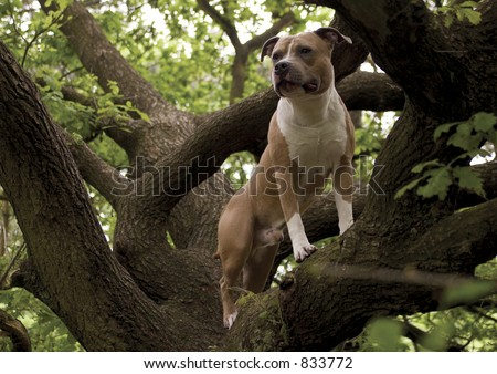 staffordshire terrier in a tree