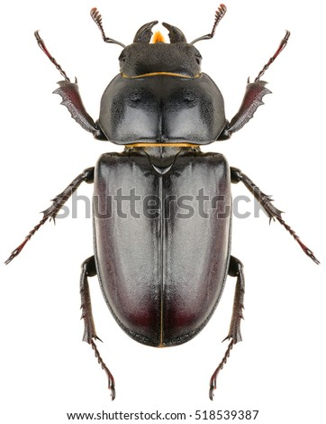 Stag beetle Lucanus cervus female isolated on white background, dorsal view of beetle