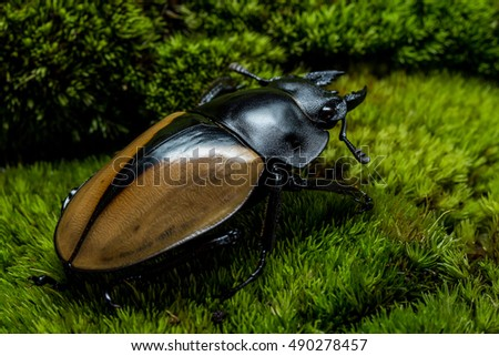 Stag Beetle (Odontolabis mouhoti ) Female on green moss #490278457