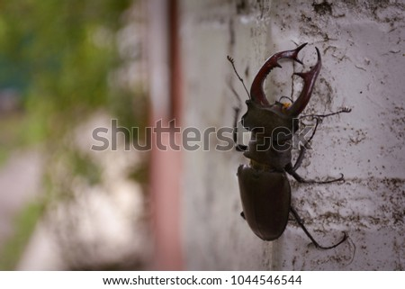 Stag beetle sits on the wall of the building #1044546544