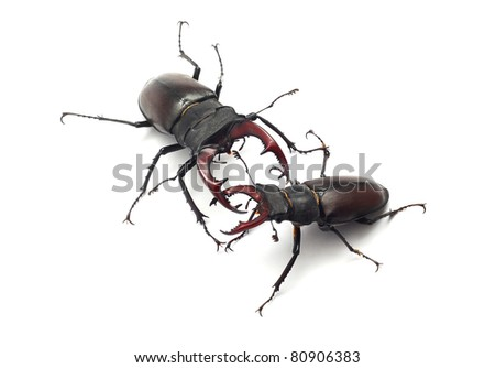 stag beetles fight