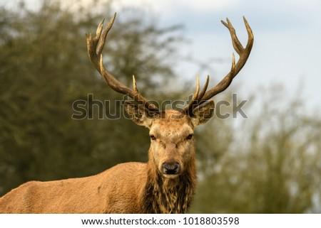 Stag Deer Portrait #1018803598