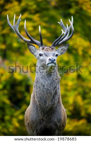 Stag face on