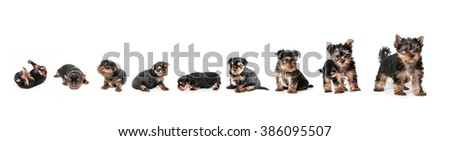 Stages of growth puppy yorkshire terrier #386095507