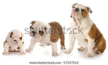 stages of puppy growth - english bulldog puppy stages