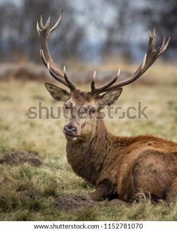 Stags at Windsor Great Park, Berkshire, England #1152781070