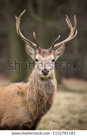 Stags at Windsor Great Park, Berkshire, England #1152781181