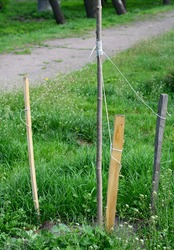 Staking a newly planted tree properly  with thee wooden stakes in high wind area in spring.