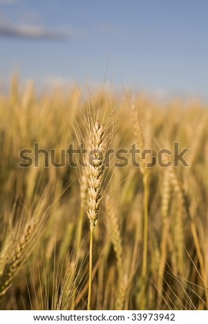 Stalk of wheat in a field with a blue sky in the background
