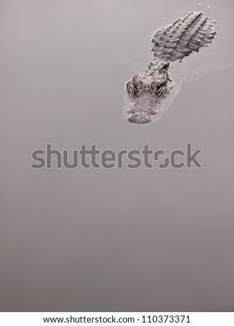 Stalking alligator