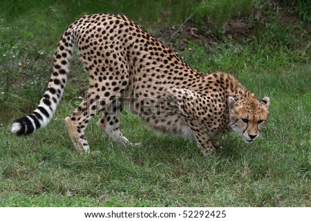 Stalking cheetah big cat with beautiful spotted fur