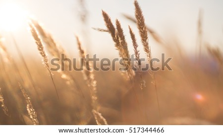 stalks of dry grass in a field at sunset #517344466