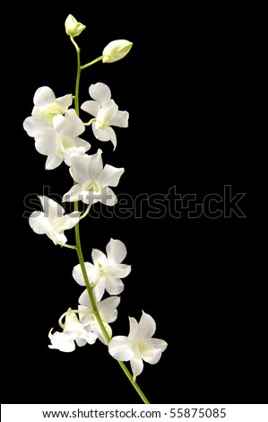 Stalks of white orchid with bud on black