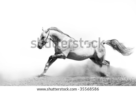 stallion in dust b&w - stock photo