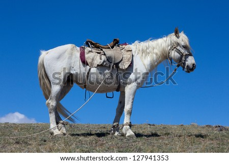 Stallion under saddle on a mountain pasture