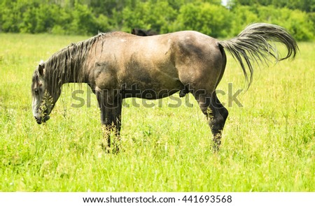 big stallion cock