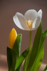 stamens and pistil inside the white tulip with fallen petal and light shining through petals
