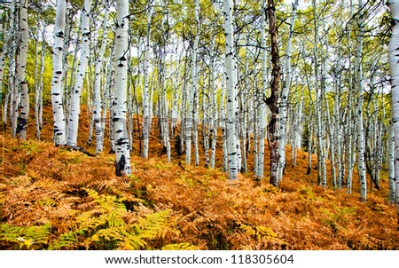 Stand of Aspen Trees in the Fall