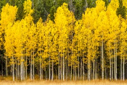 Stand of changing yellow Aspen tree in front of dark green pine trees in mountains of Colorado on fall afternoon