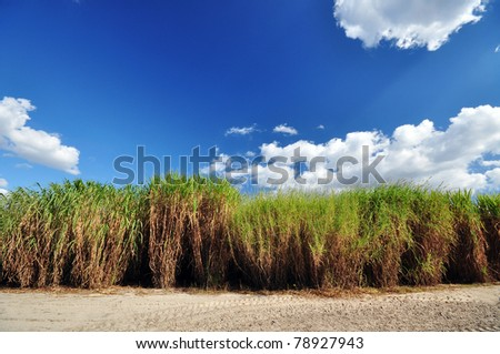 Stand of perennial grasses