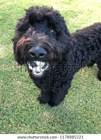 Standard Black Goldendoodle 7 months old IG darth_the_doodle