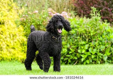 Standard Poodle #181024616