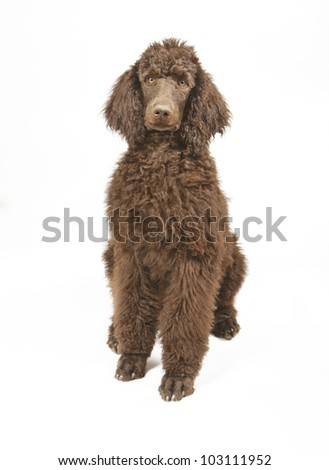 Standard Poodle Isolated on White