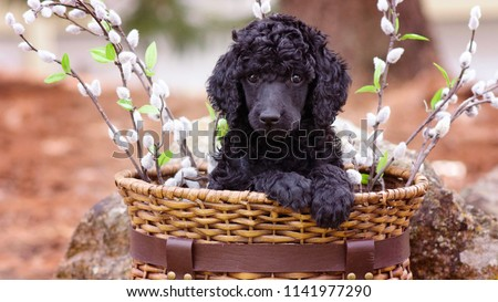 Standard Poodle Puppy in Basket