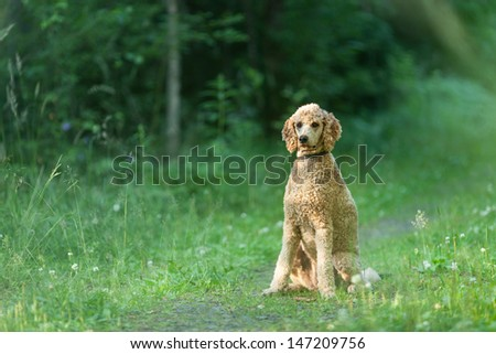 Standard Poodle sitting on the path in green forest and waiting orders #147209756