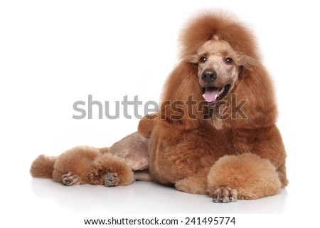 Standard Red Poodle dog lying on white background #241495774