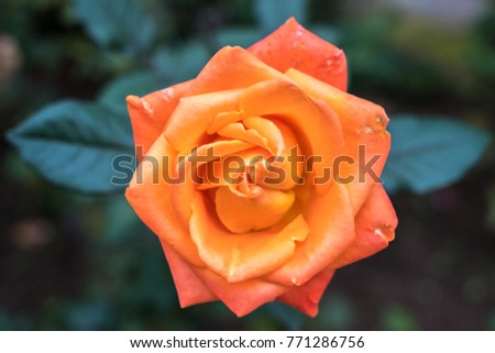 Standard Rose Orange Crush #771286756