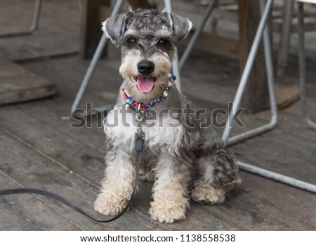 Standard Schnauzer dog is very beautiful #1138558538