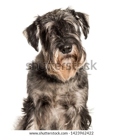 Standard Schnauzer looking at camera against white background #1423962422